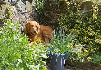 Picture-of-Labrador-enjoying-the sunshine-in-the-garden-of-our-dog-friendly-cottage