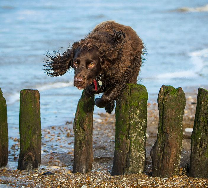 Picture-of-a-brown-spaniel-leaping-over-wooden-posts-on-a-beach